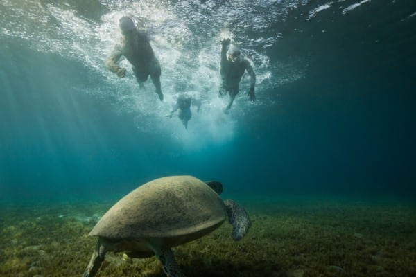 Une tortue nage sous trois sportifs en tête de course, le 12 mai 2014, au cours du 28e championnat israélien de Triathlon à Eliat / © Gilad Kavalerchik
