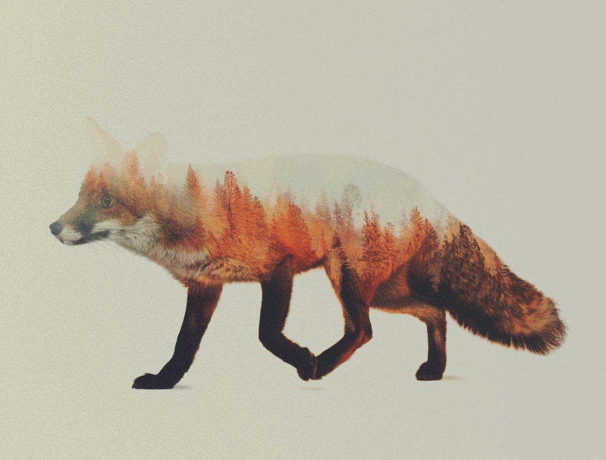 Norwegian-Woods-The-Fox-andreas-lie-fisheyelemag