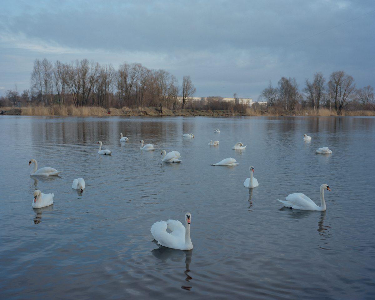 Tamed swans waiting for a feeding in Daugavgrīva, 2015.