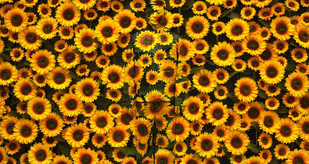 Sunflower-No-1-LiuBolin