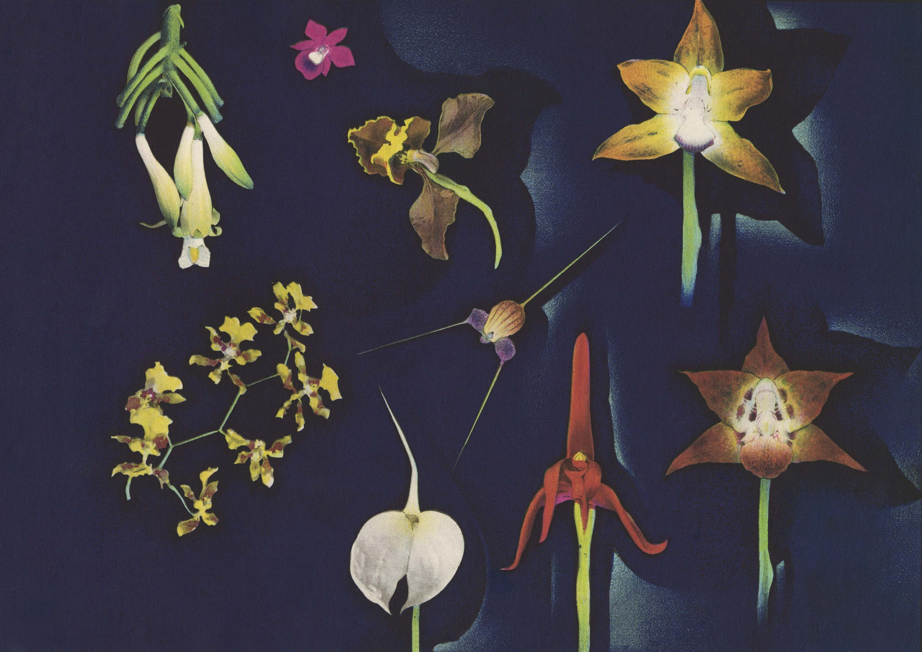 Colombian Orchids by Luis F. Osorio, 1941. Copyright free*