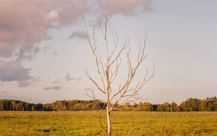 Solitary tree in an Estonian field