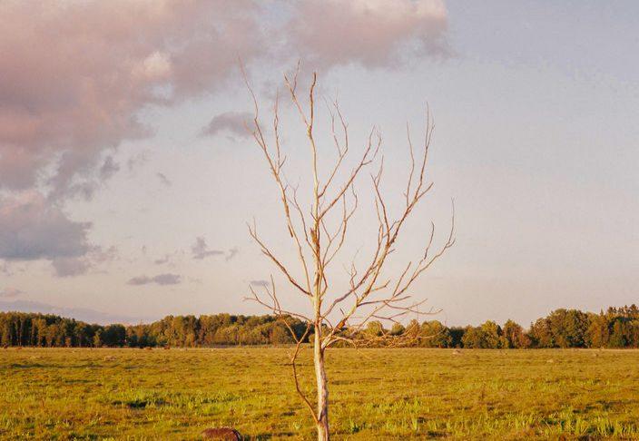 Solitary tree in an Estonian field