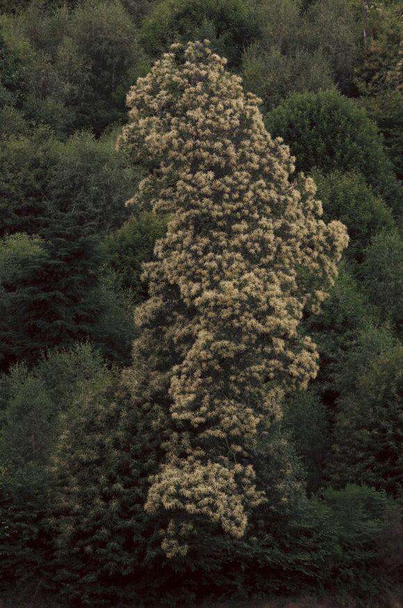 © Nolwenn Brod, Le châtaignier en fleur (Le Ritournelle)
