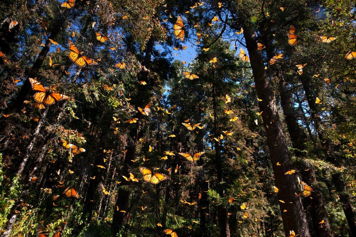 L'incroyable odyssée des papillons Monarques © Pascal Maitre / MYOP pour la Fondation Yves Rocher