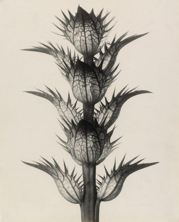Karl Blossfeldt © The Museum of Modern Art, New York, 2021, pour l'image numérisée
